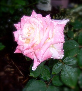 pink rose with due