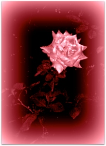 rose feb 3 100_2837.jpg